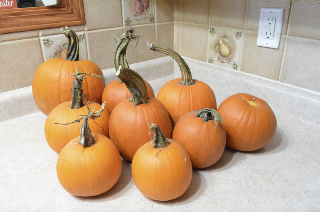fresh garden pumpkin patch in kitchen