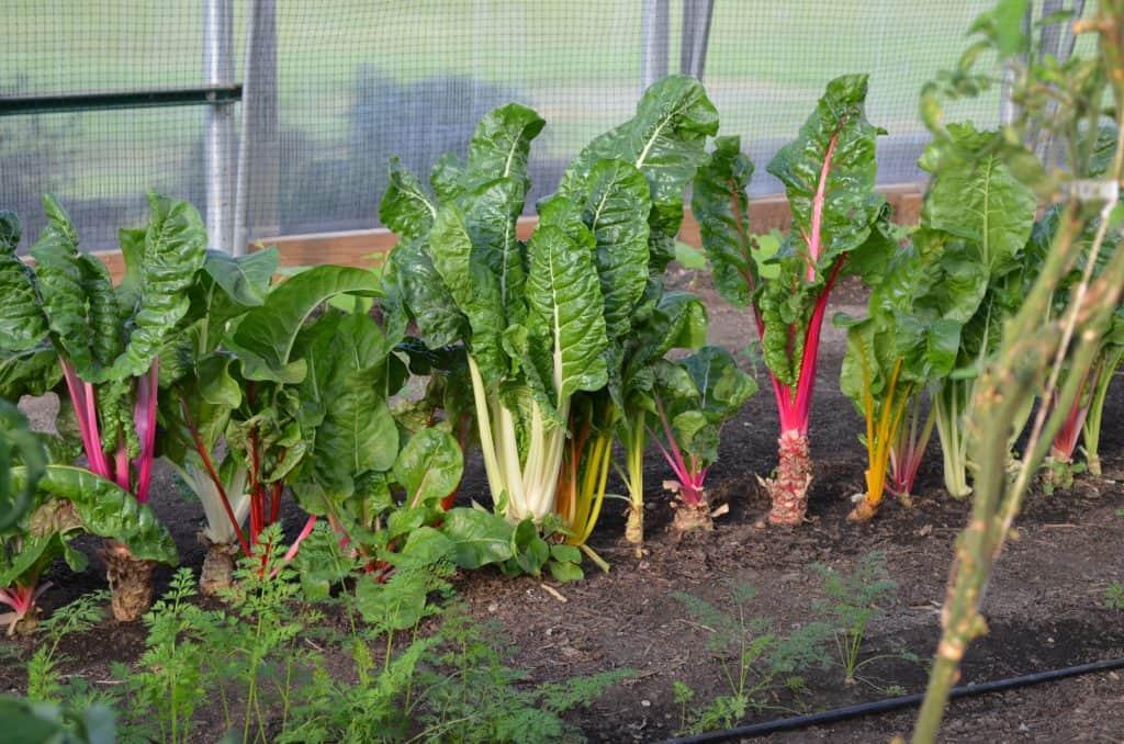 green vegetable garden in Farmtek greenhouse