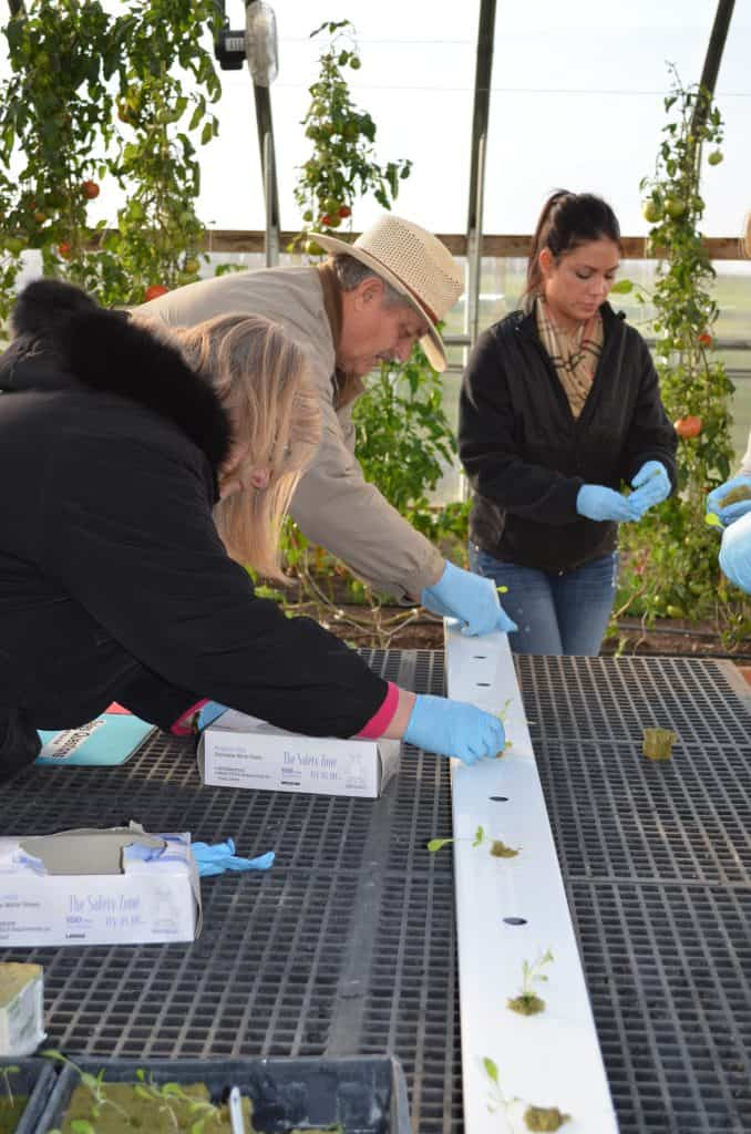 planting sprouts in a hydroponic greenhouse
