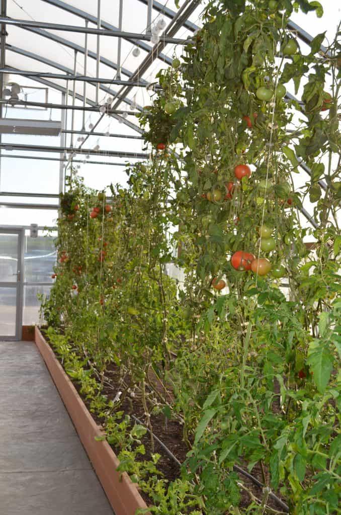 hydroponic tomato plants in Farmtek greenhouse