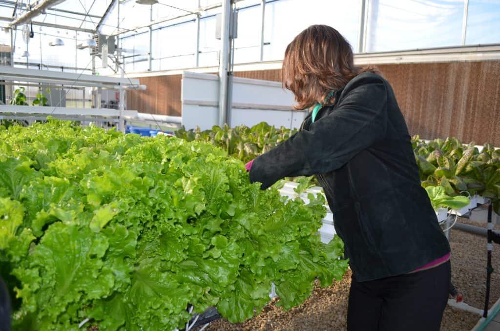 hydroponic lettuce in Farmtek greenhouse