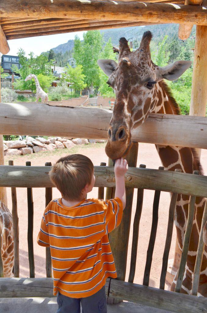 boy feeding giraffe in zoo