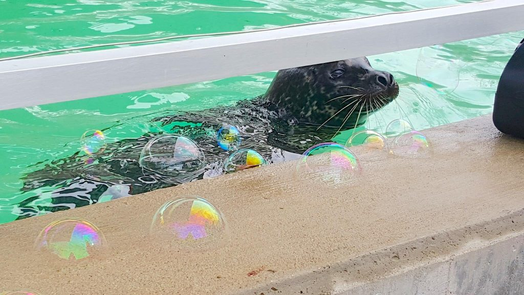harbor seal pup playing with bubbles