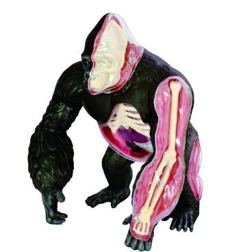 Gorilla Anatomy Model Science Kit for Kids