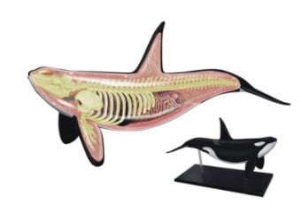 Orca Anatomy Model Science Kit for Kids