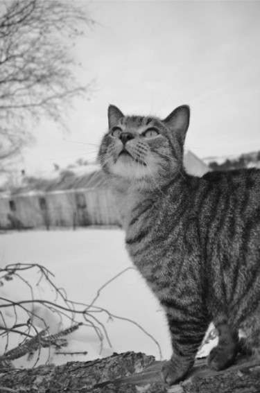 black and white striped grey cat in snow outside