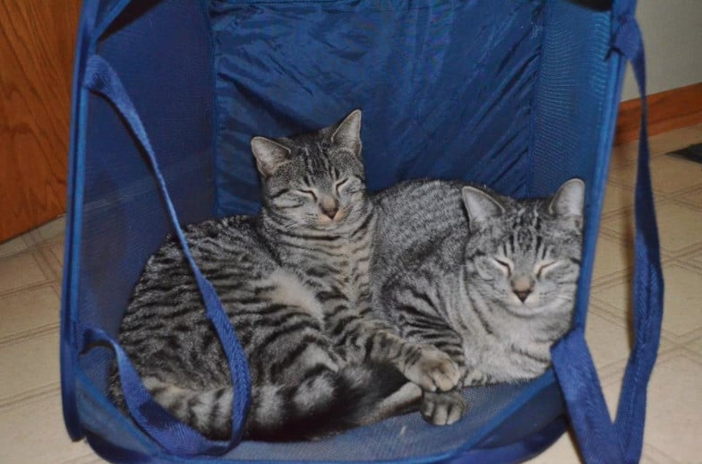 two grey striped cats in a blue pop up hamper