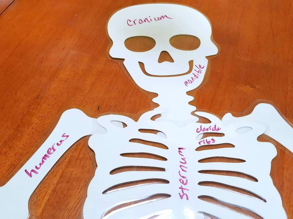 Learning About Skeletons & Bones Activities for School
