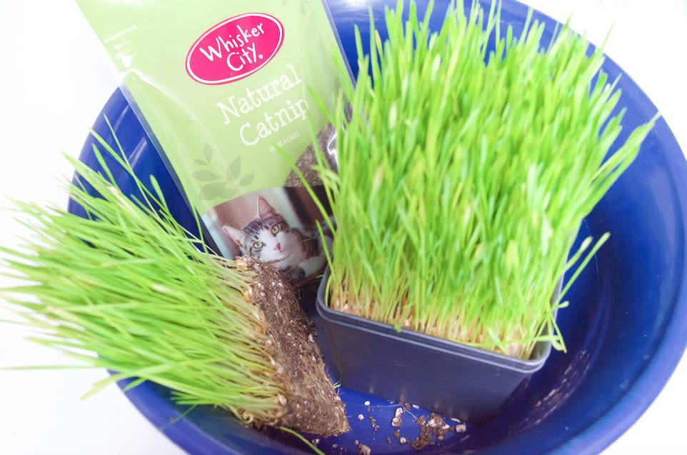 DIY Catnip Teabags with Wheatgrass Plant Teacup Cat Gift Set