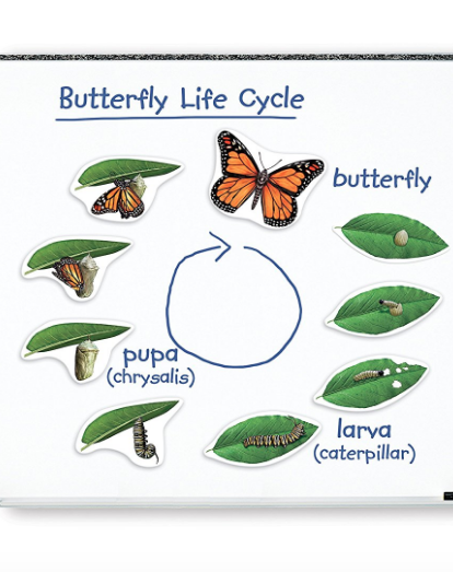 butterfly life cycle magnet