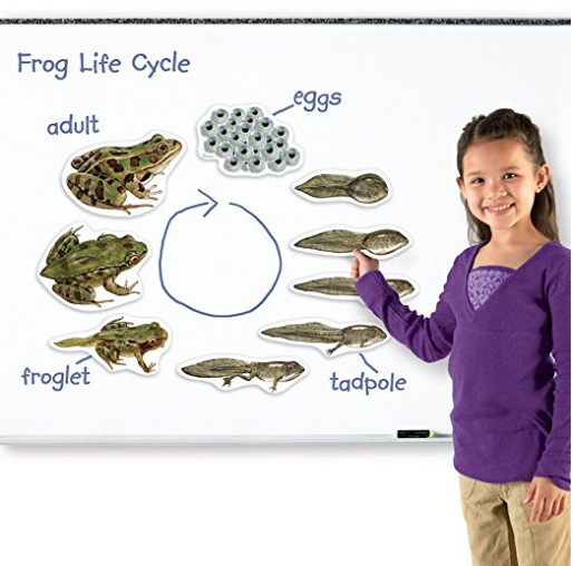 Life cycle of a frog magnetic set