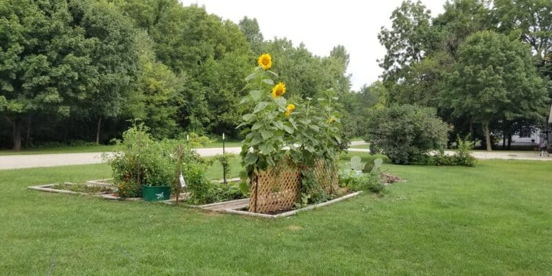 green garden with sunflowers
