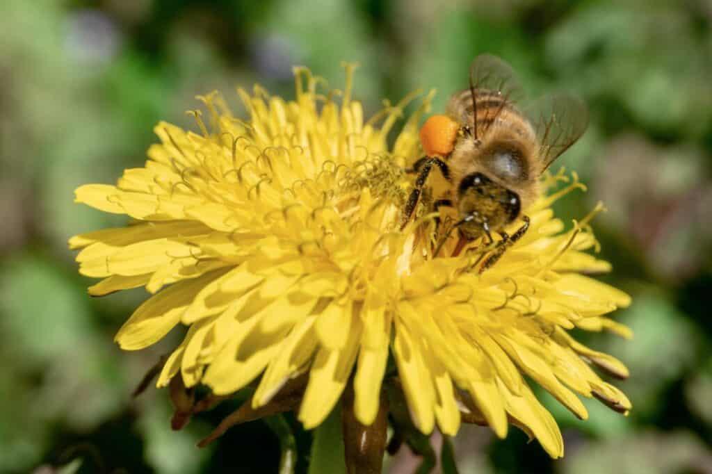 honeybee on yellow dandelion flower