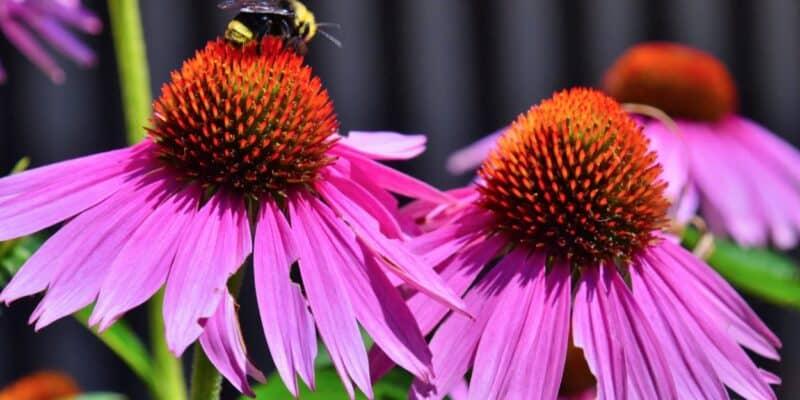 honeybee on purple coneflowers stock