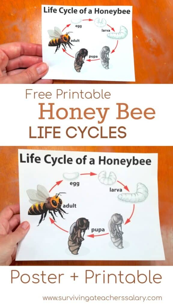 honey bee life cycle poster