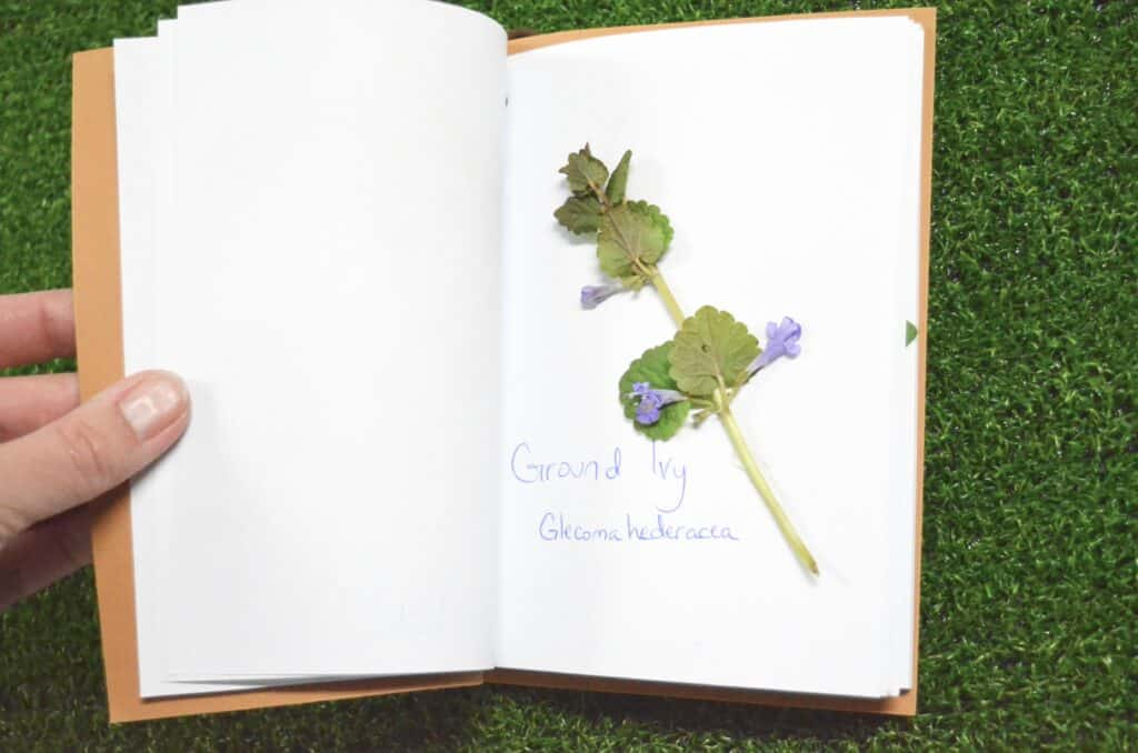 ground ivy creeping charlie nature journal