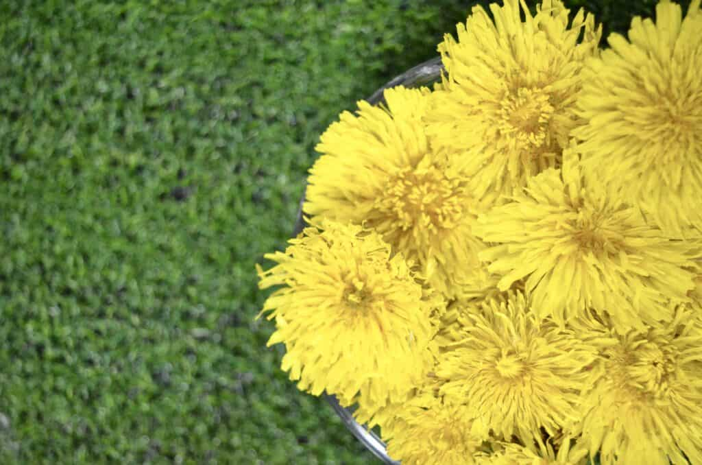 dandelion flowers on green grass