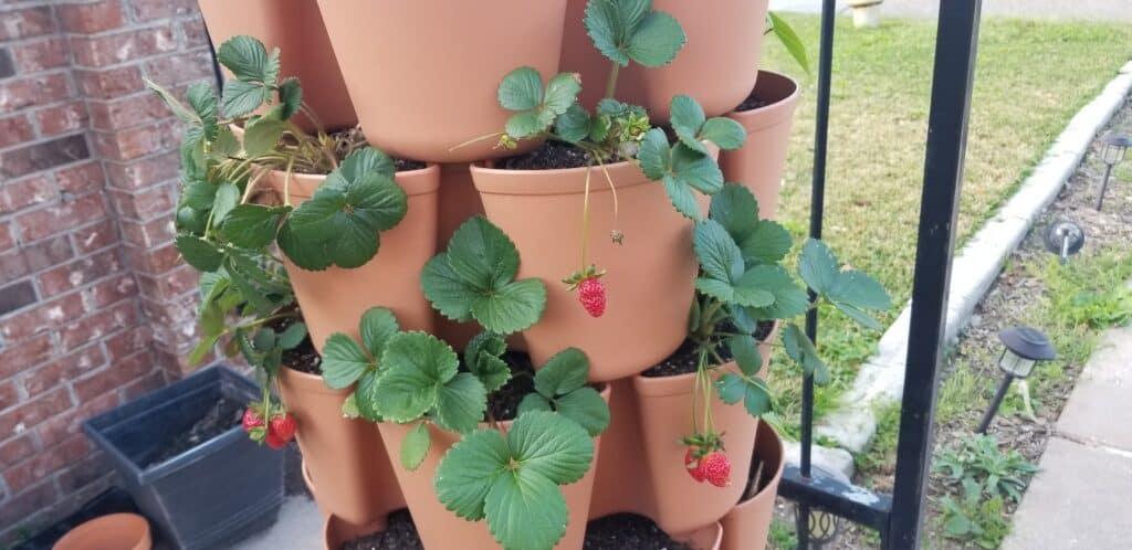 vertical garden tower strawberry plants