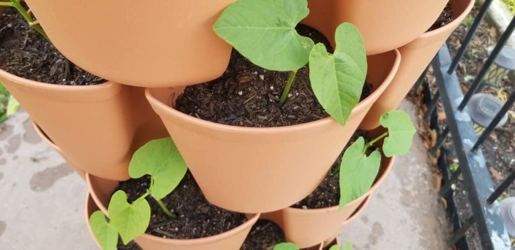bean plants in vertical garden tower