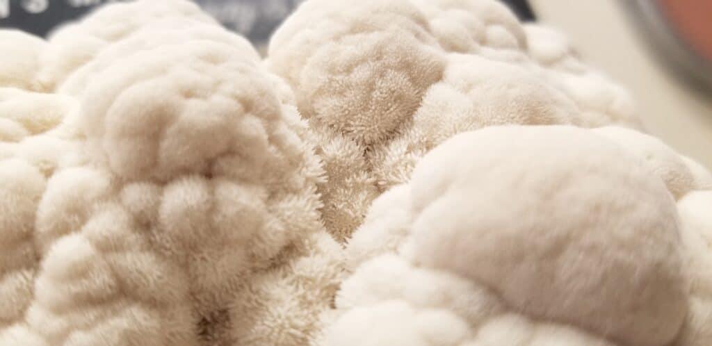 close up macro photo of Lion's Mane mushrooms